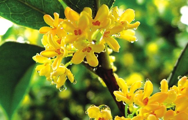 Selected Osmanthus fragrans